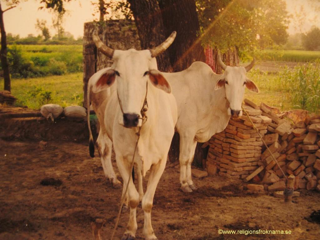 Hinduiska kor
